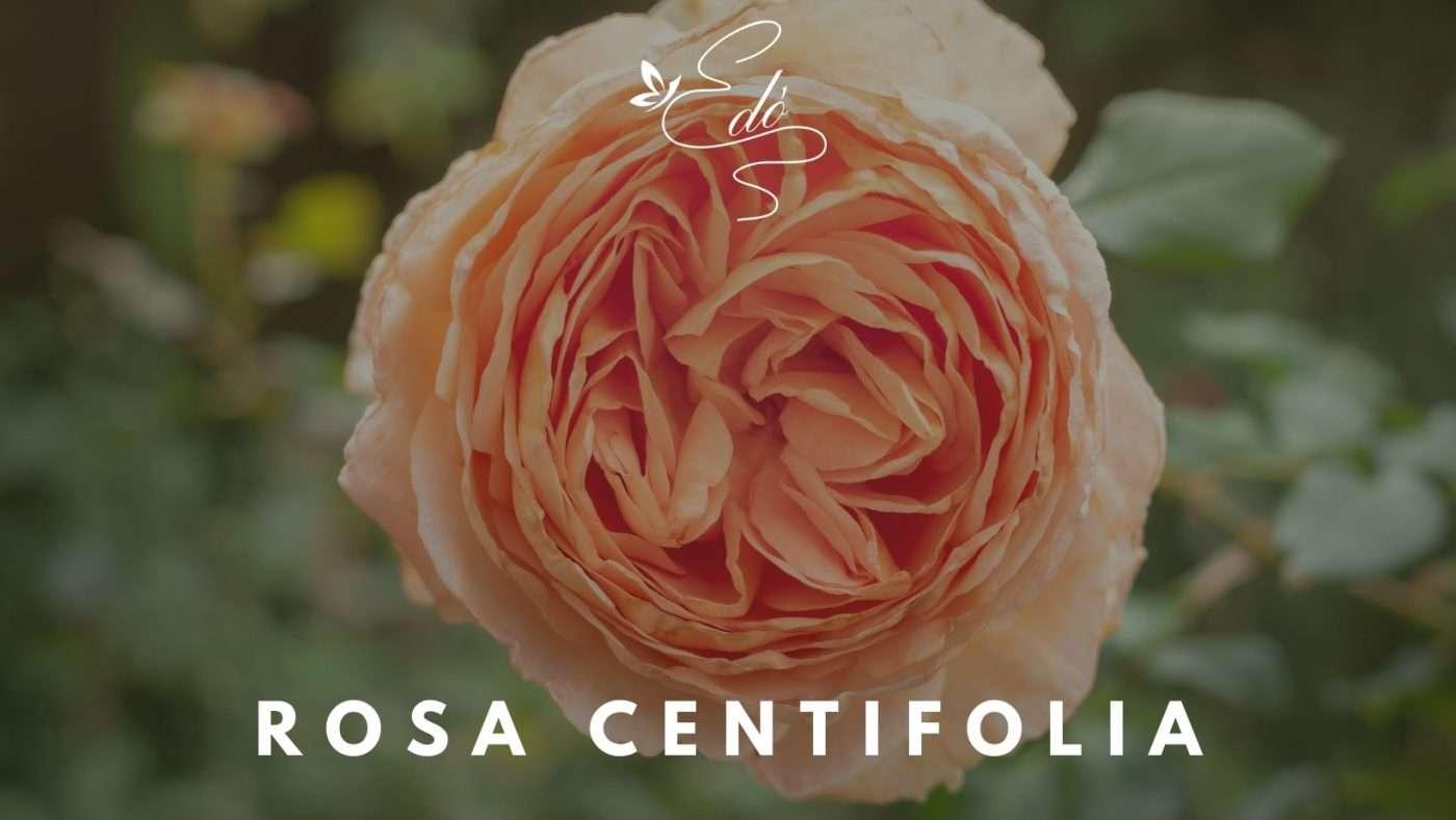 rosa centifolia blog edò profumi